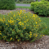 Blues Festival St. Johns Wort with Yellow Blooms