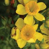 Sunny Boulevard St. Johns Wort Yellow Blooms Up Close