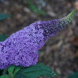Pugster Amethyst Butterfly Bush with Large Purple Flower