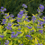 Lil Miss Sunshine Bluebeard Bush with Blue Purple Flowers
