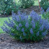 Beyond Midnight Bluebeard Bush with Blue Blooms
