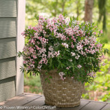 Yuki Cherry Blossom Deutzia Blooming in Pot