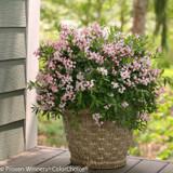 Yuki Cherry Blossom Deutzia Blooming in Pot