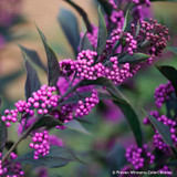 Pearl Glam Beautyberry with Purple Berries