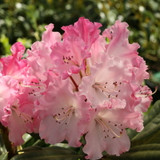 Dandy Man Color Wheel Rhododendron Bush up Close with Pink Blooms