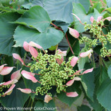 Rose Sensation False Hydrangea Vine with Flowers Foliage-