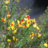 Sister Disco Scotch Broom with Yellow Red Blooms