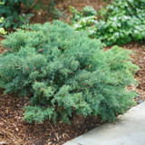 Montana Moss Juniper Bush in Landscaping