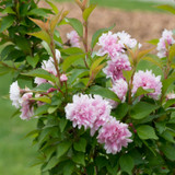 Zuzu Ornamental Flowering Cherry with Pink Blooms Up Close