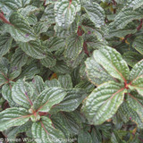 Pucker Up Dogwood with Silver Foliage