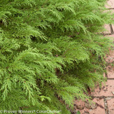Celtic Pride Siberian Cypress Green Foliage Up Close