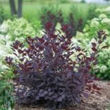 Winecraft Black Smokebush Shrub with Purple Foliage