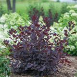 Winecraft Black Smokebush Shrub with Purple Foliage