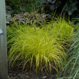 Bowles Golden Gold Sedge with Bright Green Foliage