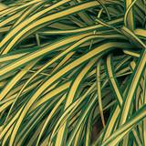 Evergold Sedge with Variegated Foliage