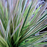Northern Lights Tufted Hairgrass Foliage