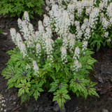 Tiarella Cutting Edge with White Blooms