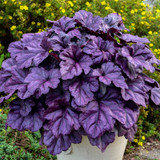 Heuchera Dolce Wildberry with Purple Foliage