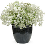 Festival Star Baby's Breath Blooming In Pot
