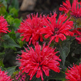 Pardon My Cerise Bee Balm with Red Blooms Up Close