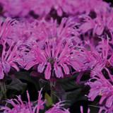 Leading Lady Plum Bee Balm Purple Blooms Up Close