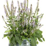 Color Spires Crystal Blue Salvia Blooming in Container
