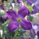 Happy Jack® Purple Clematis Vine in the Sunlight