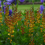 Baptisia Cherries Jubilee with Red Blooms
