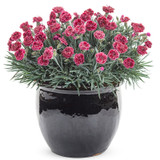 Fruit Punch Black Cherry Frost Pinks Dianthus with Red Blooms in a Pot
