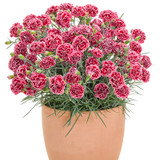 Fruit Punch Cherry Vanilla Pinks Dianthus in Pot with Red Blooms