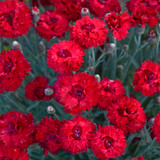 Fruit Punch Maraschino Pinks Dianthus with Red Blooms