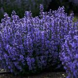Cats Pajamas Catmint - Nepeta - Purple Flowers