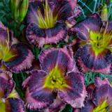 Rainbow Rhythm Storm Shelter Daylily Purple Blooms Up Close