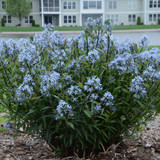 Storm Cloud Amsonia with Blue Blooms