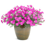Paint the Town Fuchsia Pinks Dianthus in Pot with Blooms