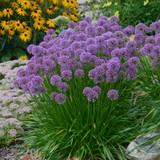 Millenium Allium with Purple Blooms