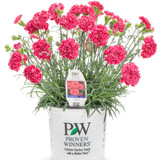 Fruit-Punch-Raspberry-Ruffles-Pinks-Dianthus-in Branded-Pot