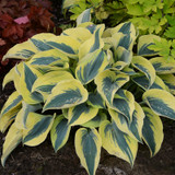 Shadowland Autumn Frost Hosta with Green Foliage