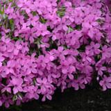 Magenta Sprite Phlox Blooming