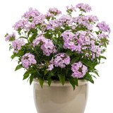Opening Act Blush Phlox wit h Pink Blooms in Pot