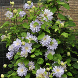 Diamond Ball Clematis Vine Climbing