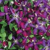 Sweet Summer Love Clematis Vine Blooming