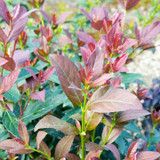 Red and Green Coppertop Sweet Viburnum Foliage Main