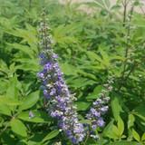 Shoal Creek Chaste Tree Blooms