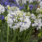 Purple and White Queen Mum Agapanthus Blooms Main