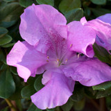Autumn Lilac Encore Azalea Flower Close Up Main