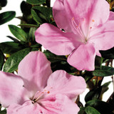 Autumn Sweetheart Encore Azalea Flowers Close Up Main