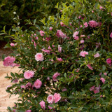 October Magic Pink Perplexion Camellia Shrub Covered in Flowers and Buds Main
