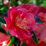 October Magic Rose Camellia Flower Petals Up Close Main