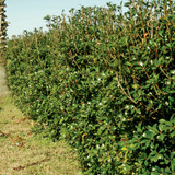 Large Bigfoot Cleyera Shrub Hedge Main